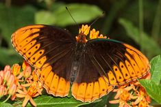 Diana Fritillary (Speyeria diana), near Chattanooga, Tennessee by Kathy Malone Float Like A Butterfly, Butterfly Kisses, Butterfly Flowers, Butterfly Wings, Beautiful Butterflies, Moth Caterpillar, Butterfly Pictures, Belleza Natural, Animals Of The World