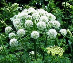 Angelica seedhead. Growing herbs connects you with nature, they transform your cooking and you can use them in so many ways all round the home.