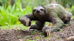 (:  Three-toed Sloth on the ground.  Note the algae in its fur.