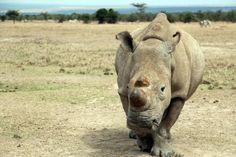 Il rinoceronte più solo al mondo: è l'ultimo della sua specie - Yahoo Notizie Italia