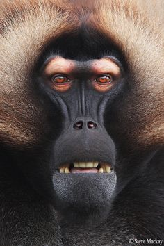 """Death stare by Steve Mackay via 500px. """"Another shot of my new Gelada Baboon friend, from Howletts Zoo, in Kent, UK. If looks could kill.........I wouldn't be here today, that's for sure!"""""""