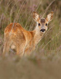 Juvenile Roe Deer