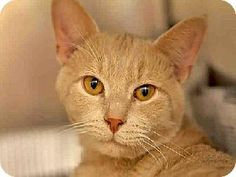 TEDDY...Pittsburgh, PA - Domestic Mediumhair. Meet TEDDY a Cat for Adoption.