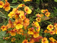 Nemesia sunsatia plus Papaya a fabulous colour - from Sarah Raven Plants