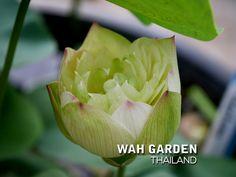 Chuehuang Lotus Yellow 3 | Nelumbo nucifera or Sacred Lotus … | Flickr Nelumbo Nucifera, Sacred Lotus, Yellow, Rose, Plants, Girly Girl, Flower, Pink, Plant