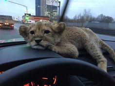 Cute Funny Animals, Cute Baby Animals, Animals And Pets, Cute Cats, Gato Grande, Baby Animals Pictures, Cute Creatures, Exotic Pets, Animals Beautiful