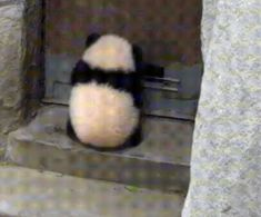 Stealth skills over 99999 - cut , funny dogs and cats Niedlicher Panda, Panda Funny, Funny Dogs, Cute Little Animals, Cute Funny Animals, Cute Cats, Baby Panda Bears, Baby Pandas, Image Panda