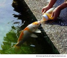 Koi fish being hand-fed - Cutest Paw Koi Fish Pond, Koi Carp, Koi Ponds, Outdoor Fish Ponds, Funny Animal Pictures, Cute Funny Animals, Beautiful Fish, Animals Beautiful, Tier Fotos
