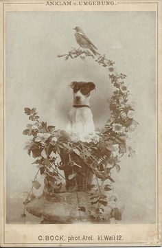 c.1890s cabinet card of a terrier sitting up in a basket festooned with flowers and vines — and a bird perched on top. Photo by C. Bock. kl Wall 12. Anklam, Germany. From bendale collection