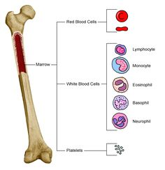 Anatomy of a bone, showing blood cells