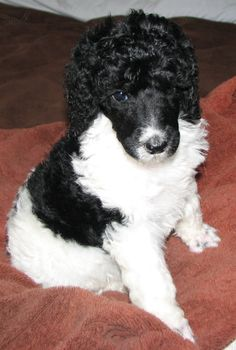 My future dog.... my uncle raises them and is going to give me one soon!!