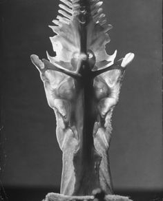 Andreas Feininger, skeletal vertebrae of catfish, 1951