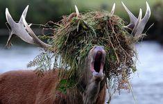Hirsch in der Brunftzeit - Bis Ende Oktober dauert noch die Brunftzeit und man kann das urige Röhren der Hirsche im Wald hören. Für die Hirsche ist das eine anstrengende Zeit. Nur der stärkste Hirsch darf sich paaren und dieser Platzhirsch wird mit heftigen Kämpfen ermittelt. Die können bis zum Tod führen. Nach der Paarungszeit ist dann endlich wieder Ruhe und Frieden kehrt im Wald ein. Und weil nicht mehr beeindruckt und gekämpft werden muss werfen die Hirsche dann sogar ihr Geweih ab.