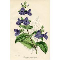 Antique Botanical Print - Wingpoint, 1847  @rubylanecom #BotanicalPrint #rubylane