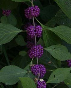 Name: American beautyberry (Callicarpa americana and cvs.) Zones: 5 to 9 Size: Up to 6 feet tall and wide Conditions: Prefers partial shade...