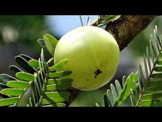 Entertainment & Knowledge- Awesome information: Goose Berry/Aamla benefits-Anty Ageing,hair,sugar ...