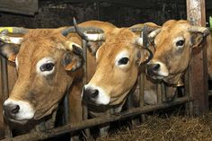 The celebrated cows of Aubrac (France).