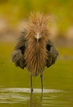 """Stay outta my way!"" The Reddish Egret (Egretta rufescens)"
