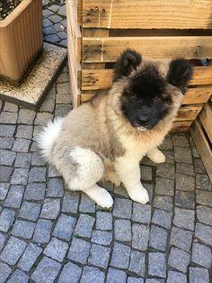 Akita americano 3 mesi American Akita, Akita Dog, Puppys, Corgi, Animals, Cubs, Corgis, Animales, Animaux
