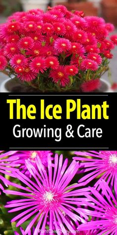 Landscaping With Rocks - How You Can Use Rocks Thoroughly Within Your Landscape Style Plant The Ice Plant For A Bright Splash Of Color In Dry Locations, Easy Growing Drought Tolerant - Delosperma Cooperi - Purple Ice Plant Learn Succulent Landscaping, Planting Succulents, Planting Flowers, Propagating Succulents, Flower Gardening, Landscaping Ideas, Water Plants, Garden Plants, Sun Garden