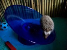 ▶ African Pygmy Hedgehogs can really move! - YouTube
