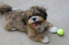 The Shih-Poo is a fun-loving and energetic little fellow. His zest for life is intoxicating. He'll have everyone in the family running around, chasing a ball alongside of him. Although he doesn't need loads of exercise, he is spunky when he wants to play. Shih-Poos will race around the house or run around the yard