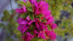 Bougainvillea (murvafürt) Bougainvillea, Landscape, Plants, Gardening, Hd Photos, Gardens, Flowers, Scenery, Lawn And Garden