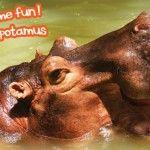 Summer Time Fun! Pygmy Hippopotamus @ Khao Kheow Open Zoo
