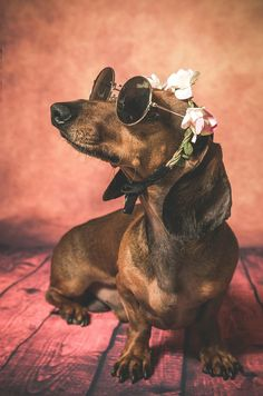 Dachshund dog with sunglasses and flowers on her head