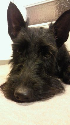 My name is NERO. I am a Scottish Terrier. I live in JAPAN.