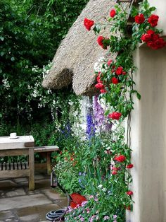 Red roses in cottage garden. Looks like delphinium in the background.