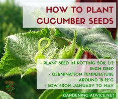 Growing Cucumbers is quite easy and well worth it. Garden Tips on how to grow the healthiest cucumber plants and the best cucumber varieties. Cucumber On Eyes, Cucumber Plant, Cucumber Seeds, Home Grown Vegetables, Organic Vegetables, Garden Seeds, Planting Seeds, Organic Gardening, Gardening Tips