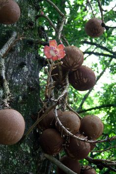 watch out for falling cannon balls ... cannon ball tree (couroupita guianensis), native to caribbean & parts of south america ... fragrant flowers ... stinky fruit ...