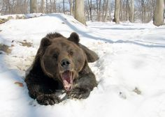Max, a rescued bear