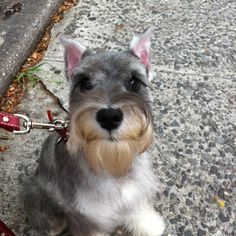 Aww this is a Happy Little Mini Schnauzer so so cute