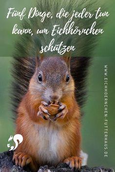 Von 5 Eichhörnchen überlebt nur eins das erste Lebensjahr. Was Du tun kannst, um den niedlichen Kobolden zu helfen, ein längeres Leben in freier Wildbahn führen, erfährst du hier! #eichhörnchen #eichhörnchen in not #eichhörnchenfutterhau #kobel Tiny Houses, Berlin, Cute Animals, Cats, Dutch Ovens, Swimming, Rodents, Insects, Types Of Animals