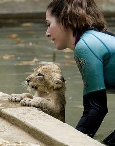 Lion cub swim test at National Zoo