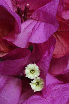 Flor de bougainvillea. Viveros González. Marbella
