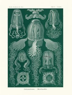 Art Forms of Nature - Cubomedusae (Box Jellyfish) - Ernst Haeckel Artwork (Art Prints, Wood & Metal Antique Prints, Vintage Prints, Ernst Haeckel Art, Poster Digital, Art Nouveau, Deadly Creatures, Natural Form Art, Jellyfish Art, Jellyfish Tentacles