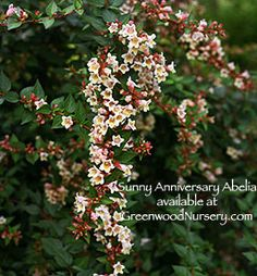Sunny Anniversary Abelia Summer Flowering Shrub - Lovely yellow flowers with pink and orange cascade on the weeping branches from mid summer to early fall.