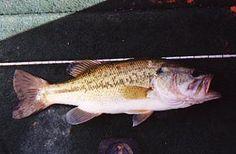 Common Name Sockeye Salmon Kokanee Scientific Name