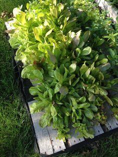 Harvesting lots of lettuce out of my pallet garden this season! Garden Design, Pallet Garden, Autumn Garden, Plants, Herb Garden, Pallets Garden, Backyard, Garden Plants, Gardening Tips