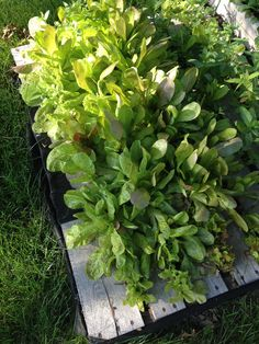 Harvesting lots of lettuce out of my pallet garden this season!