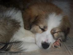 Raising A LGD -- The First Year | January 5th marked one year since Mindy, our Great Pyrenees/Karakachan dog, came to live with us at Hickor...
