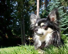 My sweet little Darling Charly #chihuahua_feature #chihuahuas #chihuahualove #animal #chihuahua #dog #pets #hunde