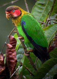 The rose-faced parrot (Pyrilia pulchra) is a species of parrot in the family Psittacidae. It is sometimes considered conspecific with the brown-hooded parrot (P. pulchra), and was formerly placed in Pionopsitta which is now monotypic. It is found in Colombia and Ecuador. Its natural habitats are subtropical or tropical moist lowland forests and subtropical or tropical moist montane forests.