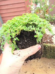 Baby Tears! This is such a great plant for  many reasons, we love it for fairy gardens  because you can break it apart into small little  pieces, it's great in the shade, outside or in a  sun porch, and for winter you can bring it  inside! We LOVE this one.