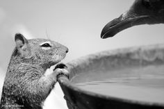 Carlos Perez Naval, To drink or not. Squirrel and seagull face to face. The photo was taken in Morro Bay, California (USA). NIKON D7100 200-400 mm f/4G VR (400 mm) ISO 500 f/5.0 1/2500 seg Shot desaturated to black and white.