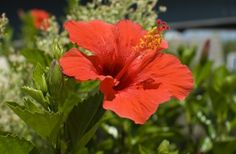 Tropical hibiscus is a favorite landscape plant in Florida.