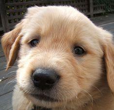 Cute little Golden boy